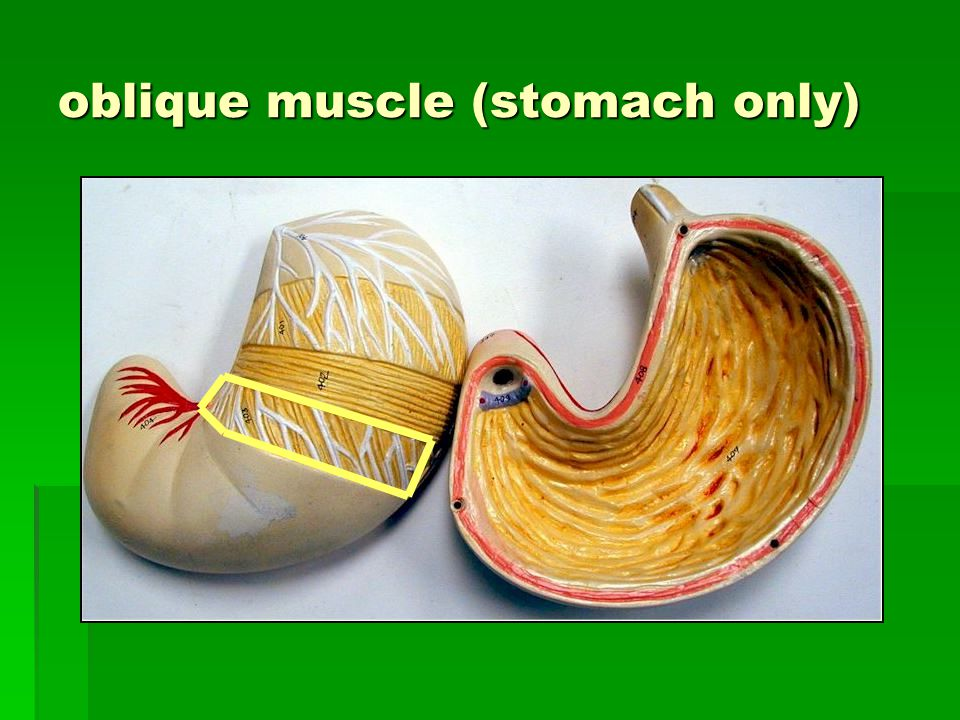 oblique muscle (stomach only)