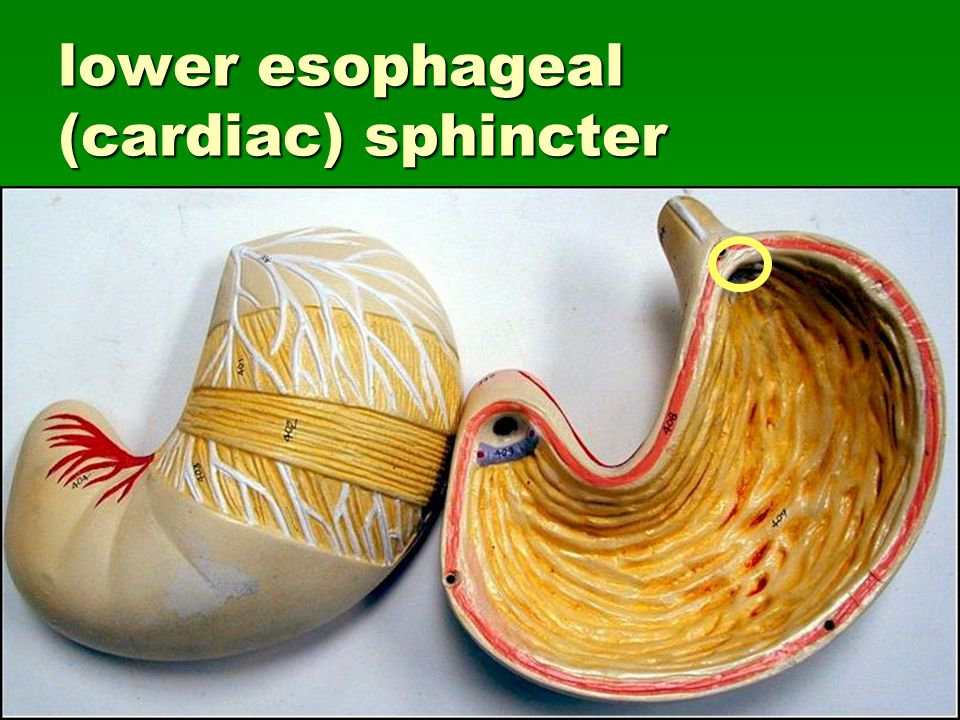 lower esophageal (cardiac) sphincter
