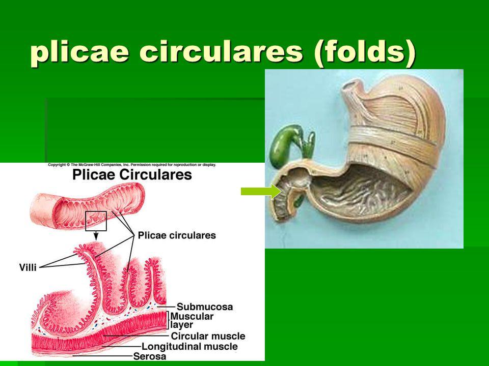 plicae circulares (folds)