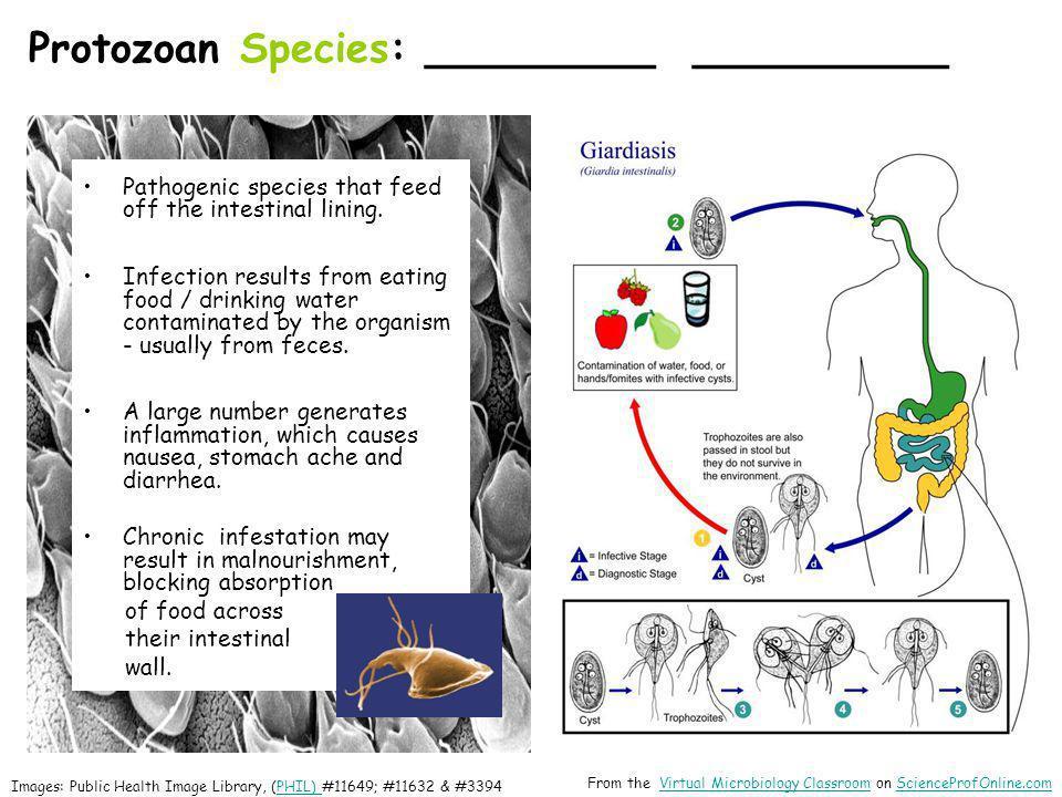 Protozoan Species: _________ __________
