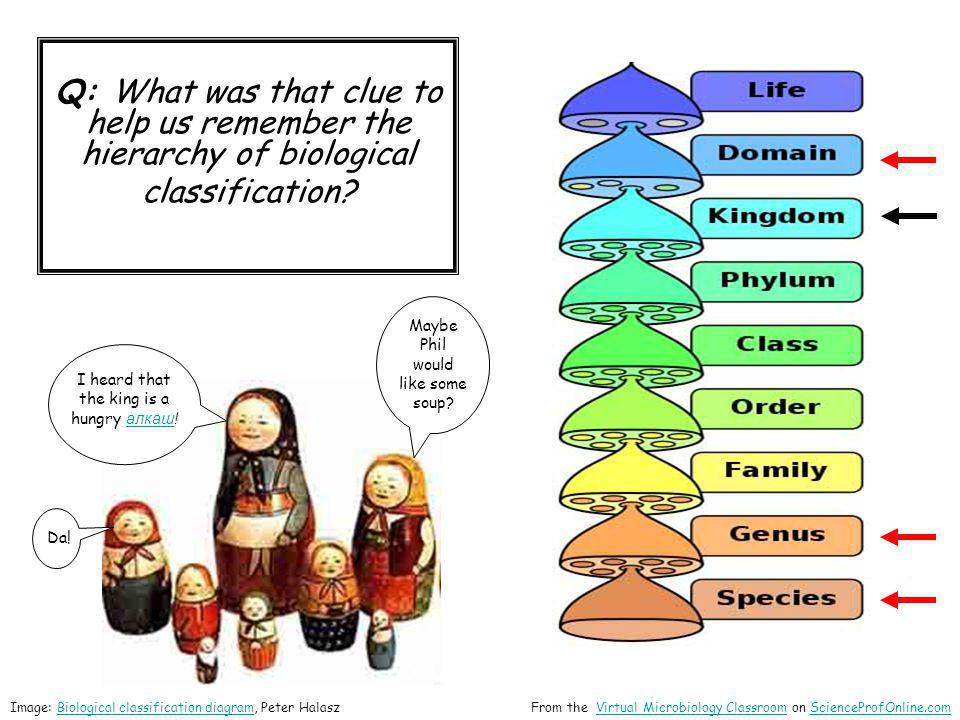 Q: What was that clue to help us remember the hierarchy of biological classification