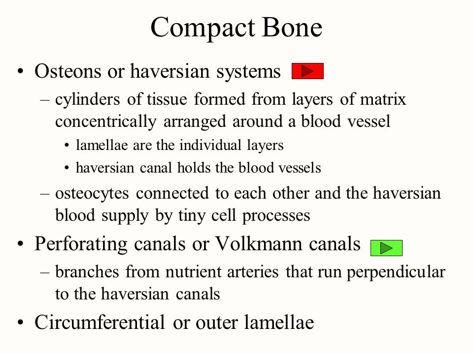 Compact Bone Osteons or haversian systems