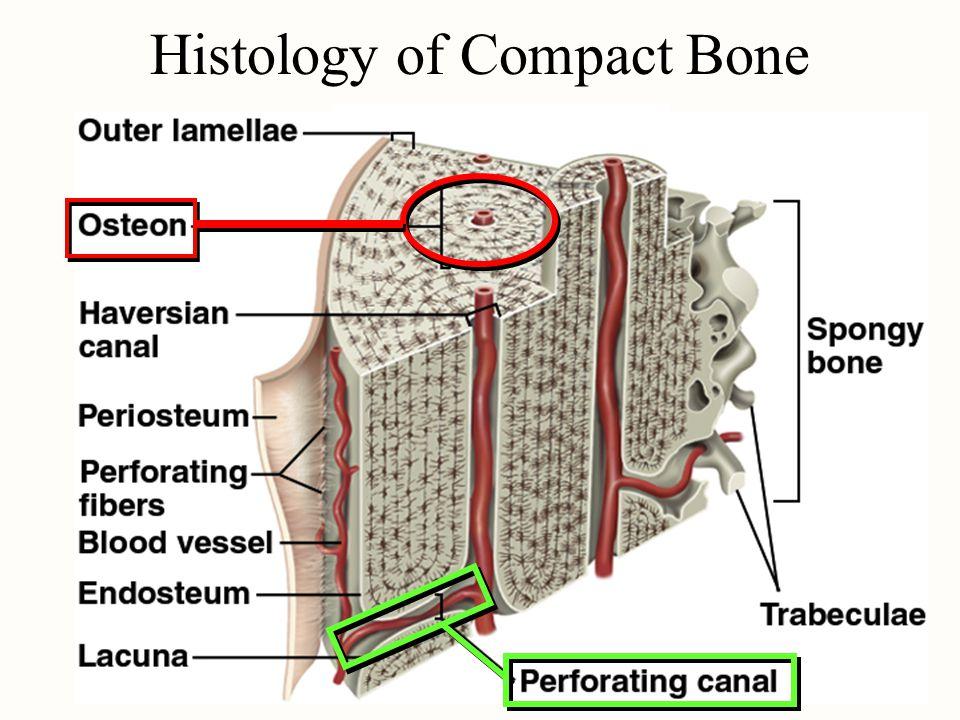Compact Bone Slide