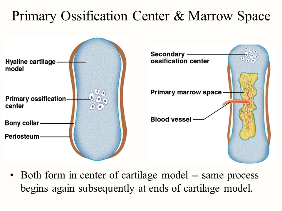 Primary Ossification Center & Marrow Space