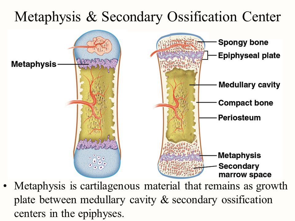 Metaphysis & Secondary Ossification Center
