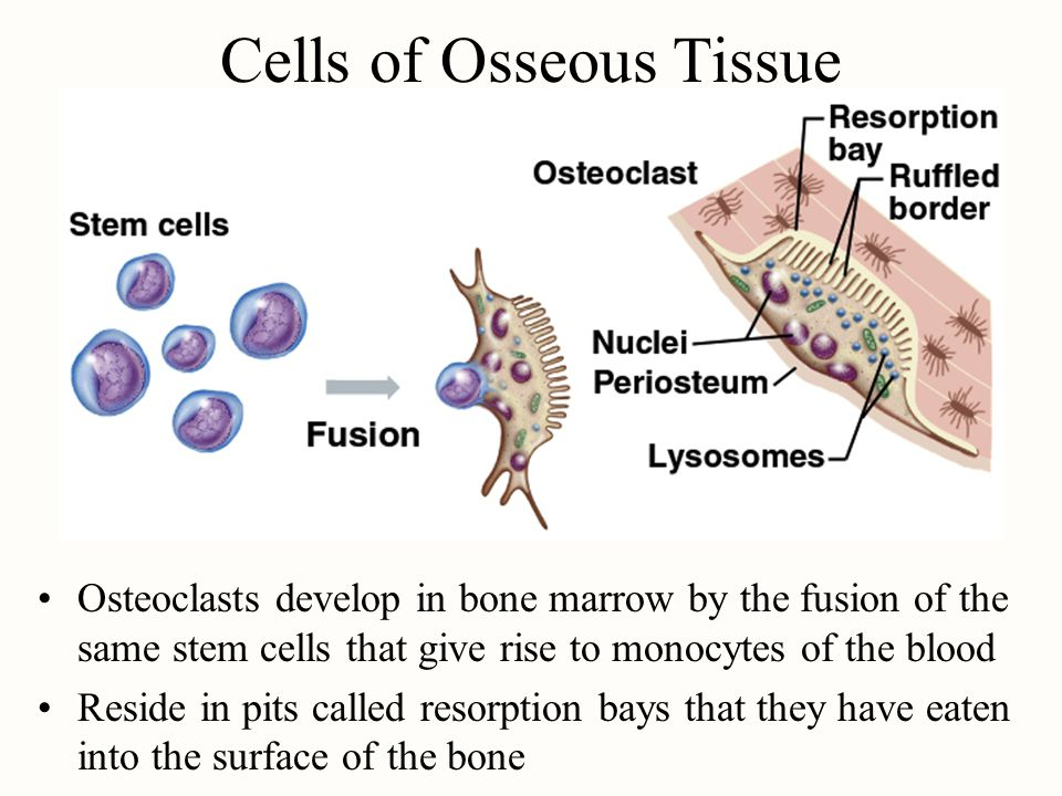 Cells of Osseous Tissue