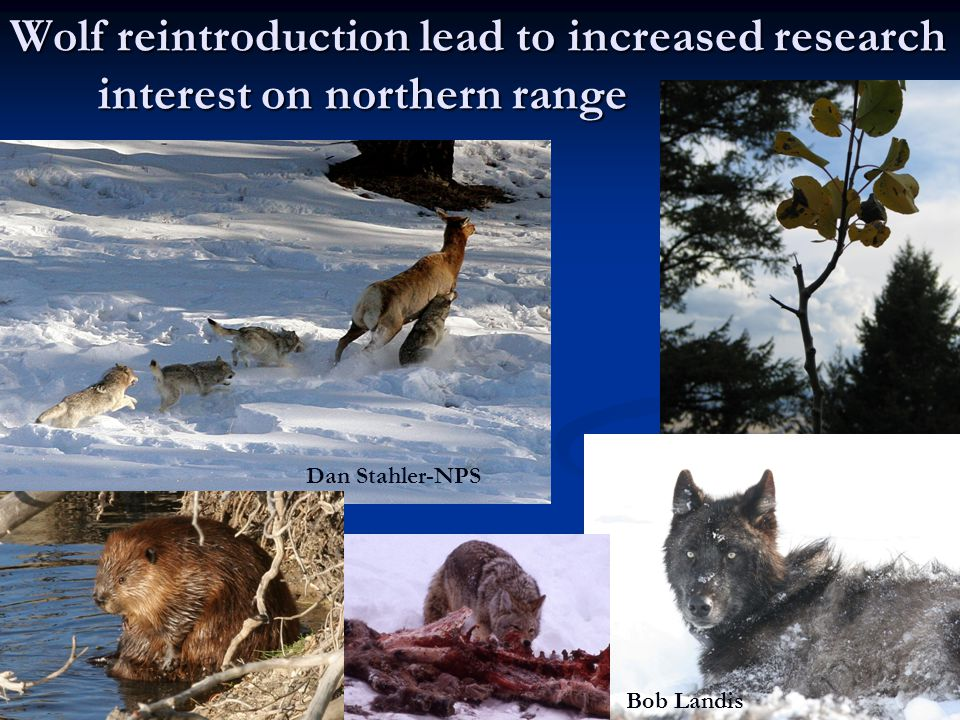 Wolf reintroduction lead to increased research interest on northern range