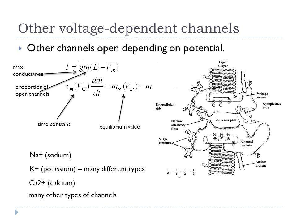 Other voltage-dependent channels