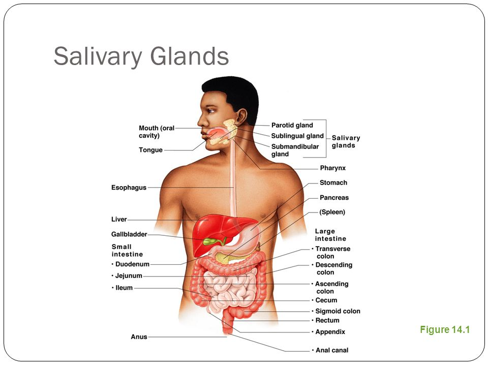 Salivary Glands Figure 14.1