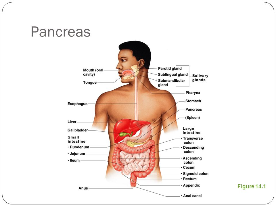 Pancreas Figure 14.1