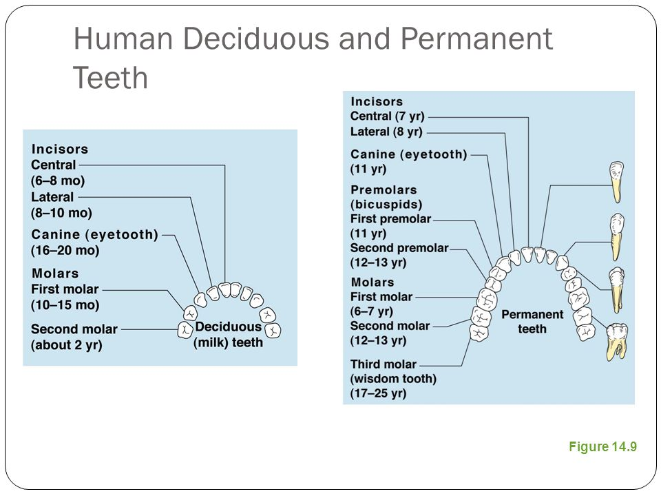 Human Deciduous and Permanent Teeth