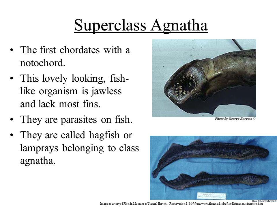 Superclass Agnatha The first chordates with a notochord.