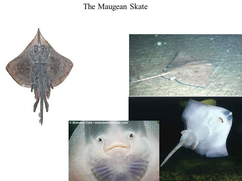 The Maugean Skate