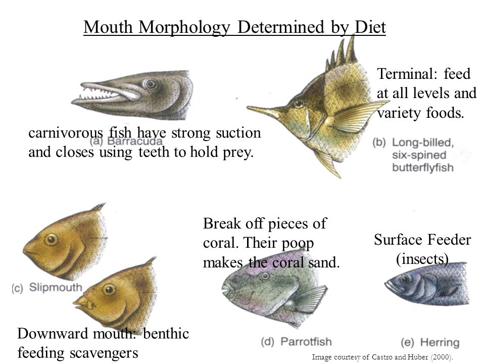 Mouth Morphology Determined by Diet