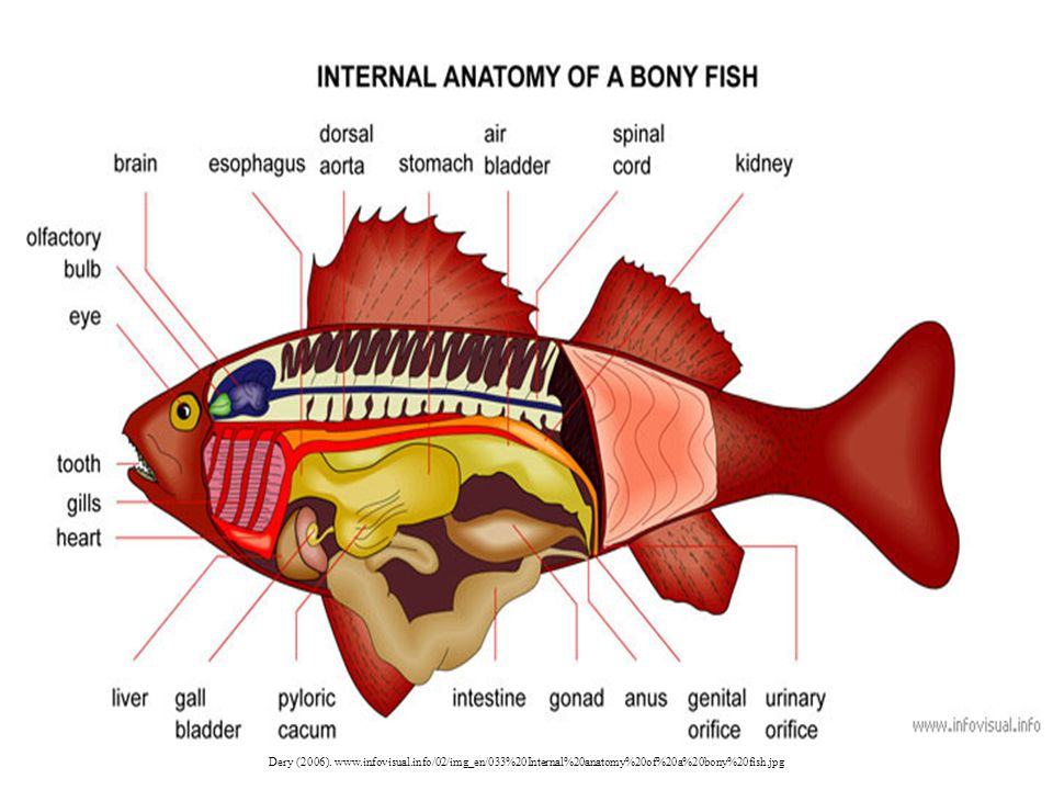 Dery (2006). www.infovisual.info/02/img_en/033%20Internal%20anatomy%20of%20a%20bony%20fish.jpg