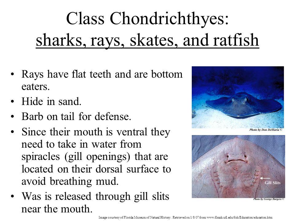 Class Chondrichthyes: sharks, rays, skates, and ratfish