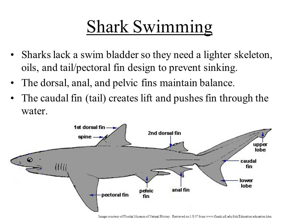 Shark Swimming Sharks lack a swim bladder so they need a lighter skeleton, oils, and tail/pectoral fin design to prevent sinking.