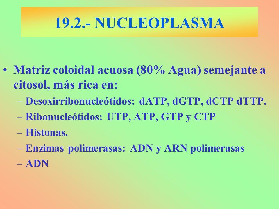 19.2.- NUCLEOPLASMA Matriz coloidal acuosa (80% Agua) semejante a citosol, más rica en: Desoxirribonucleótidos: dATP, dGTP, dCTP dTTP.