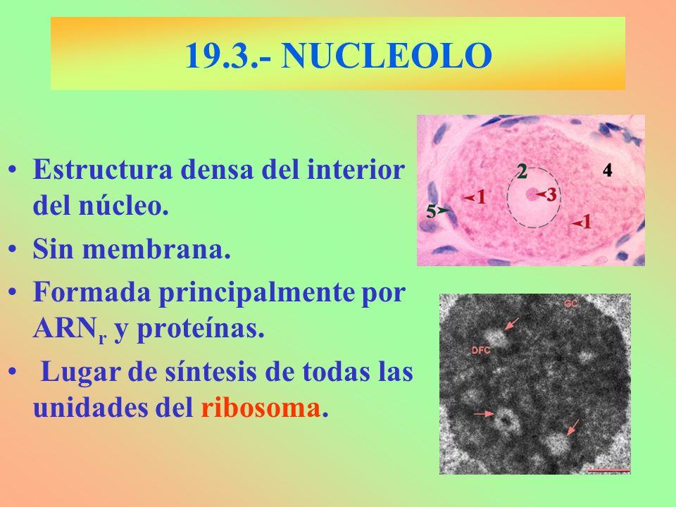 19.3.- NUCLEOLO Estructura densa del interior del núcleo.