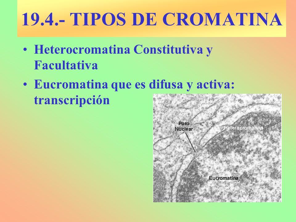 19.4.- TIPOS DE CROMATINA Heterocromatina Constitutiva y Facultativa