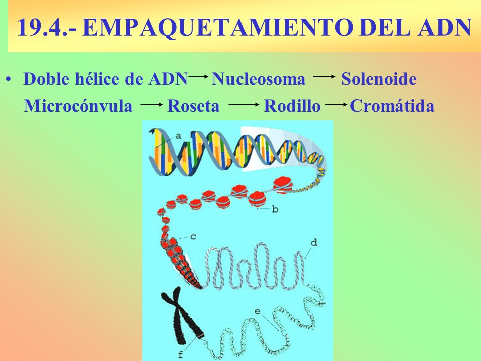 19.4.- EMPAQUETAMIENTO DEL ADN