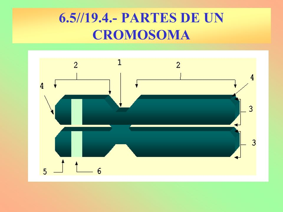 6.5//19.4.- PARTES DE UN CROMOSOMA