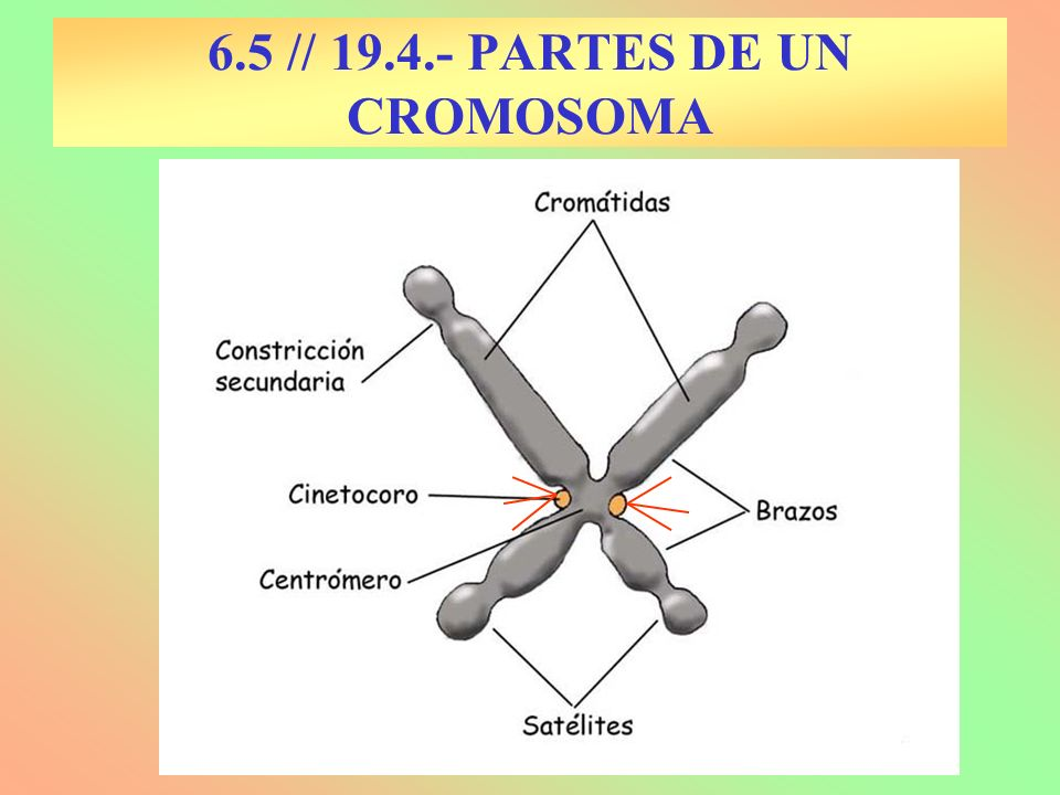 6.5 // 19.4.- PARTES DE UN CROMOSOMA