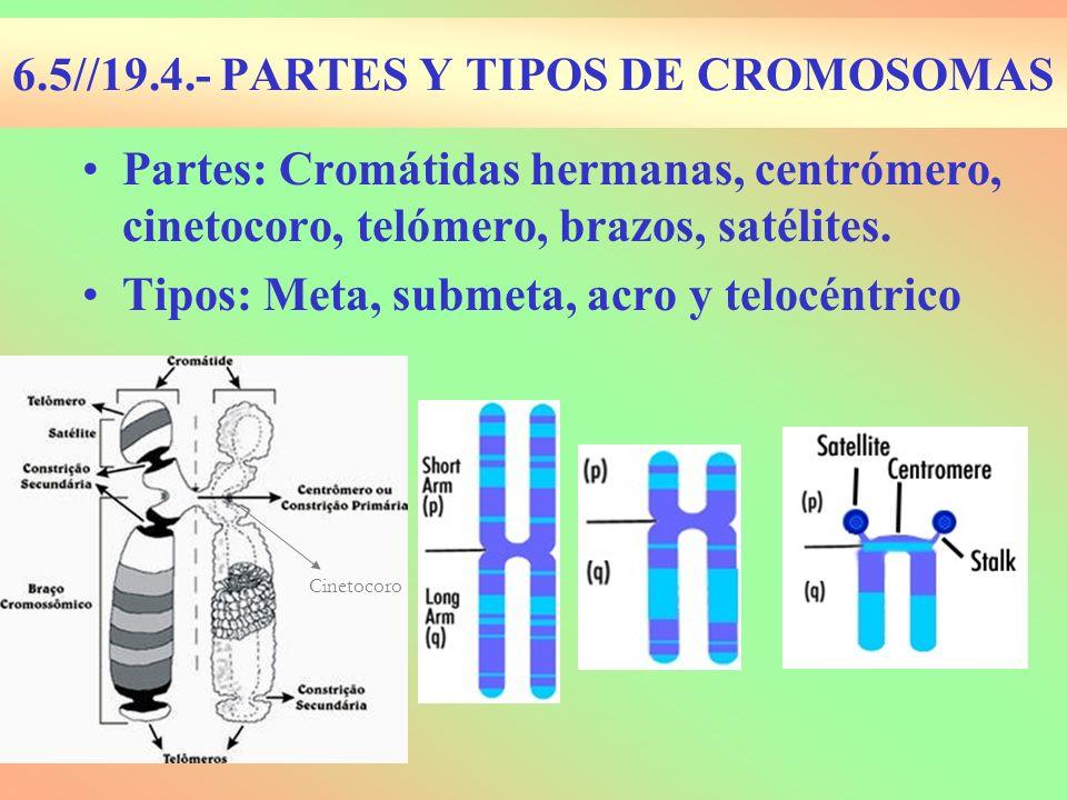 6.5//19.4.- PARTES Y TIPOS DE CROMOSOMAS