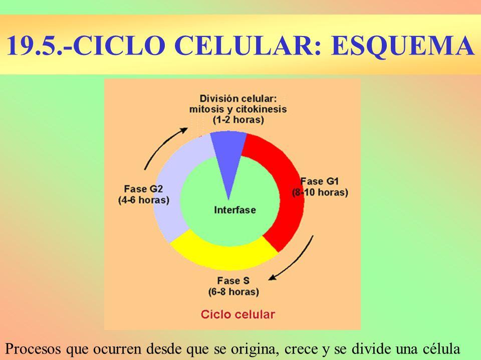 19.5.-CICLO CELULAR: ESQUEMA