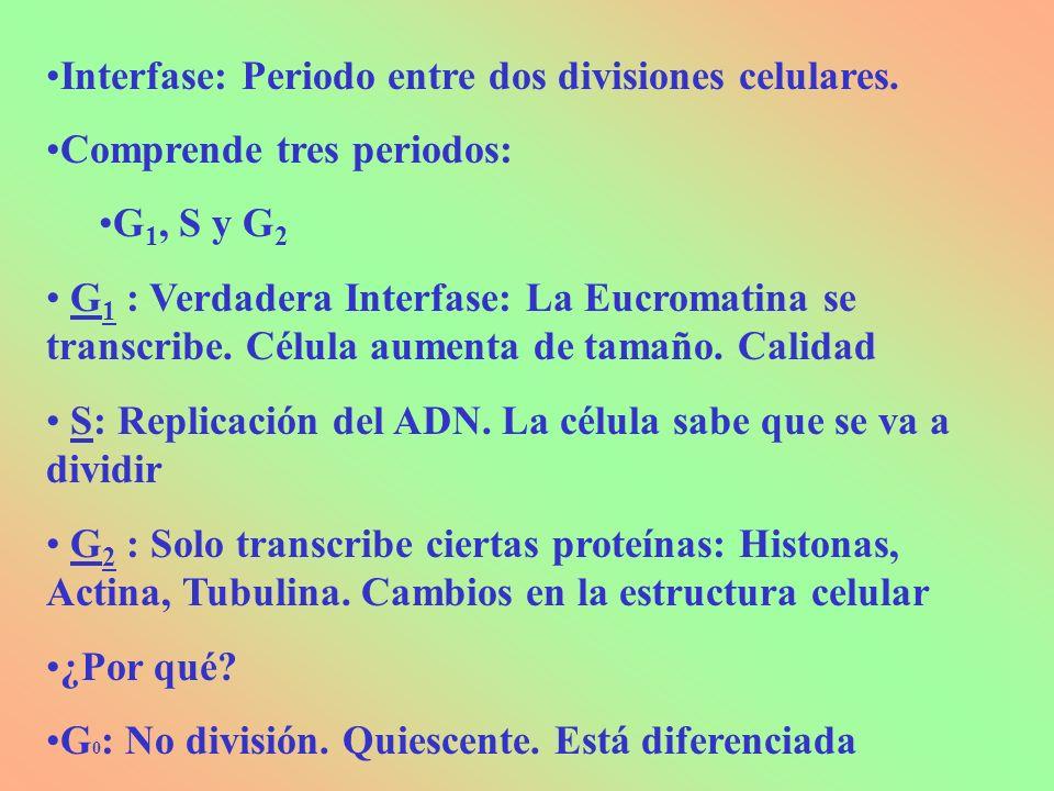 Interfase: Periodo entre dos divisiones celulares.