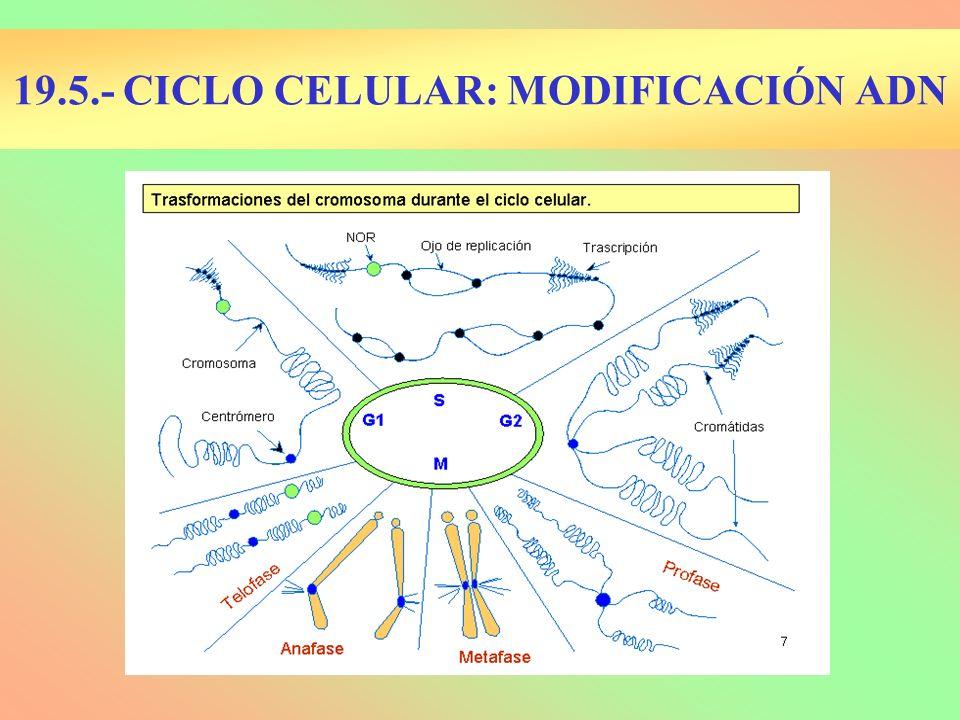 19.5.- CICLO CELULAR: MODIFICACIÓN ADN