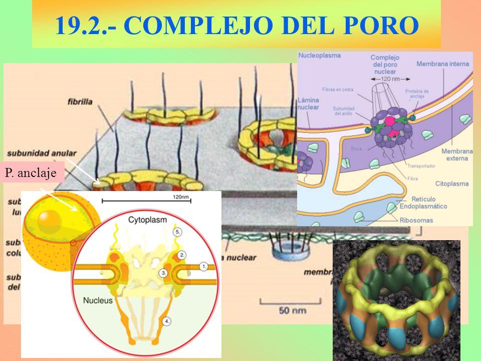 19.2.- COMPLEJO DEL PORO P. anclaje