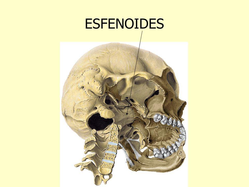 ESFENOIDES