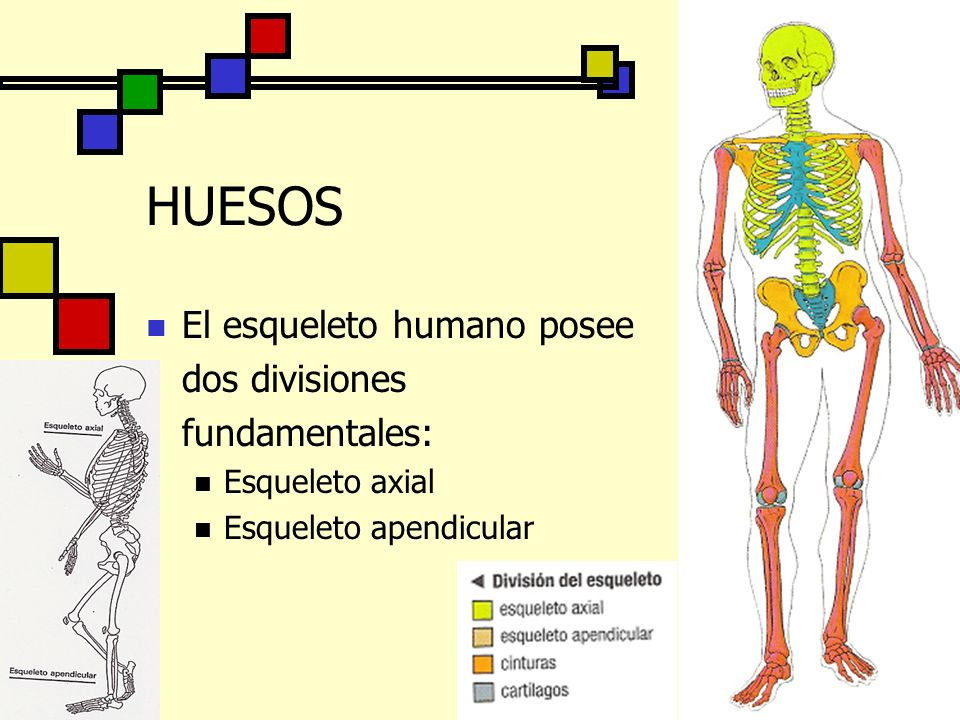HUESOS El esqueleto humano posee dos divisiones fundamentales: