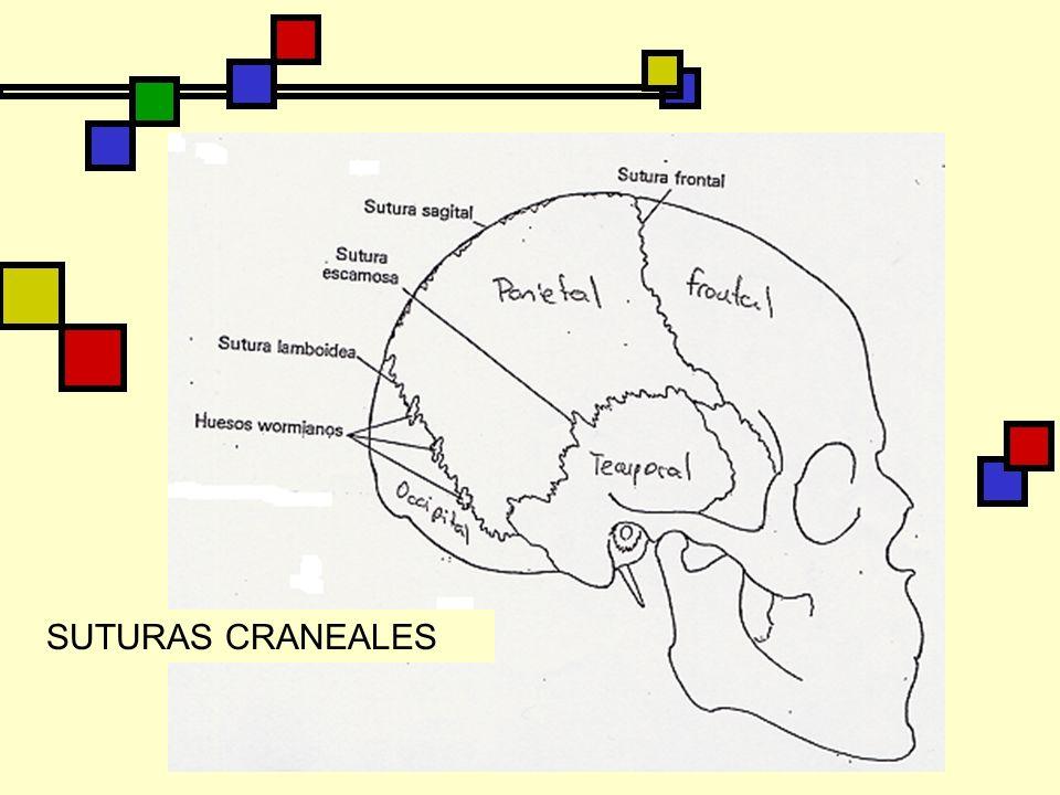 SUTURAS CRANEALES
