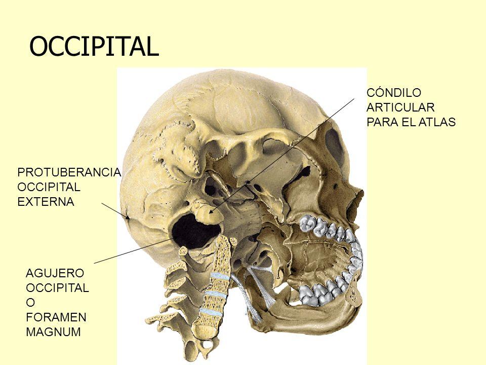 OCCIPITAL CÓNDILO ARTICULAR PARA EL ATLAS