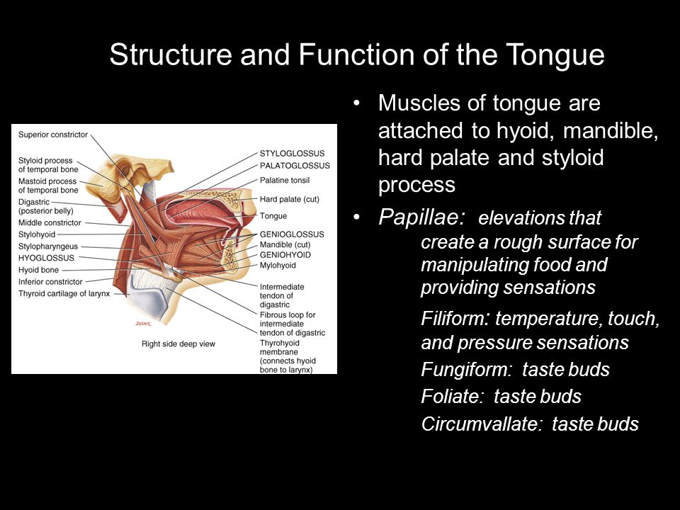 Structure and Function of the Tongue