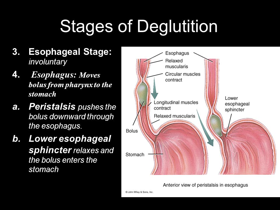 Stages of Deglutition Esophageal Stage: involuntary