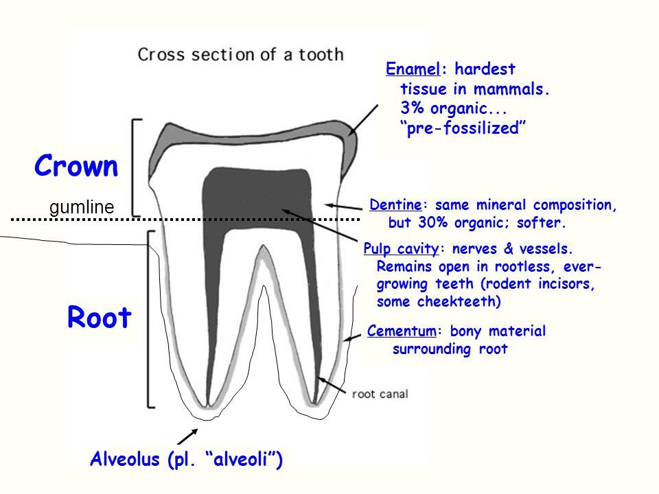 Crown Root gumline Alveolus (pl. alveoli ) Enamel: hardest