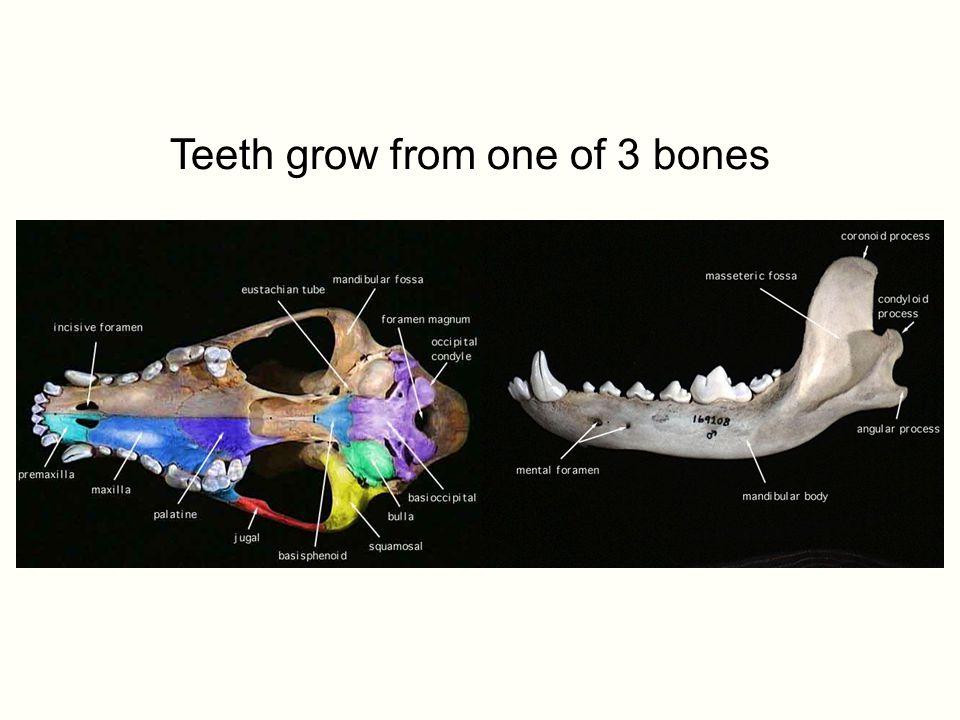 Teeth grow from one of 3 bones