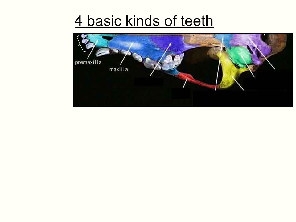 4 basic kinds of teeth Incisors: Anteriormost, erupt entirely from premaxillary, us. single-root. Usually used for picking.