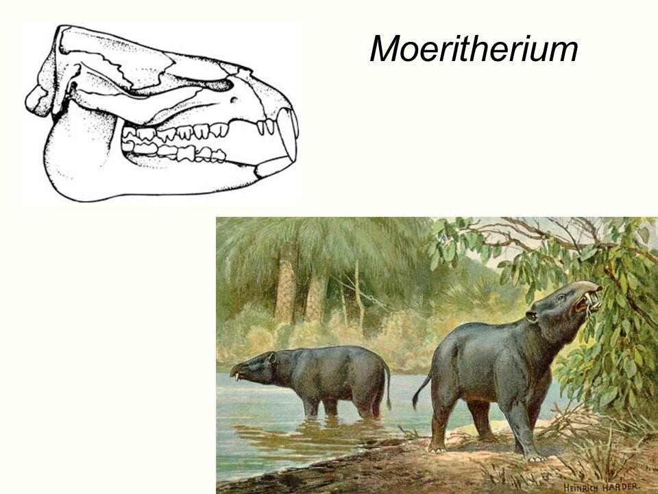 Moeritherium NEW slide in 2008.