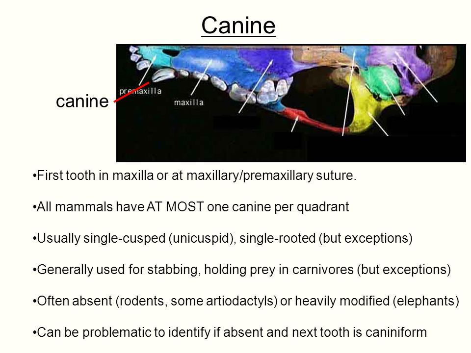 Canine canine. First tooth in maxilla or at maxillary/premaxillary suture. All mammals have AT MOST one canine per quadrant.