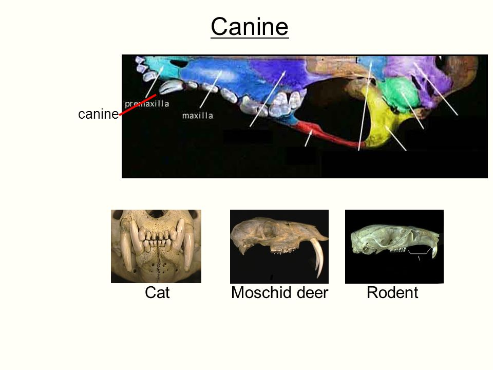 Canine Cat Moschid deer Rodent canine