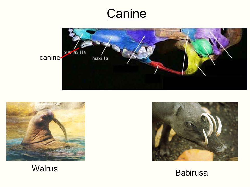 Canine Walrus Babirusa canine
