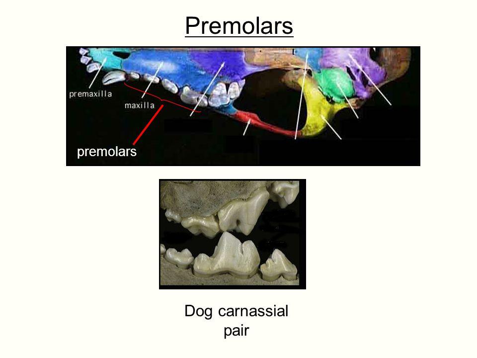Premolars premolars Dog carnassial pair