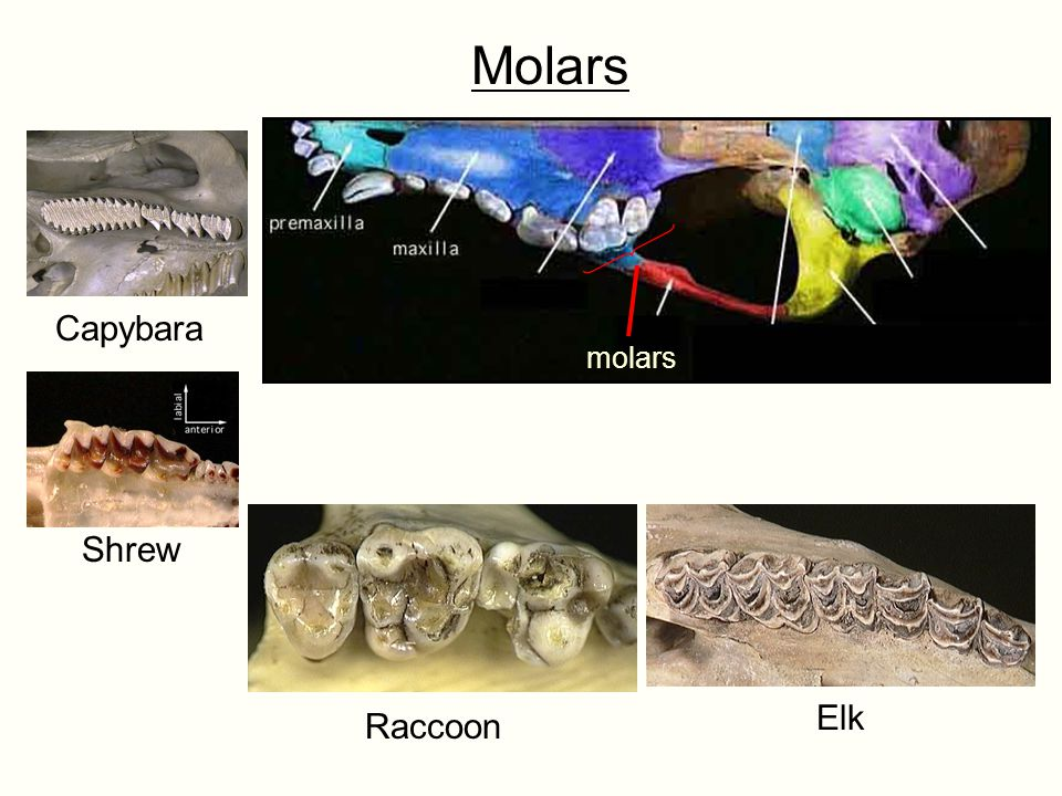 Molars Capybara molars Shrew Elk Raccoon
