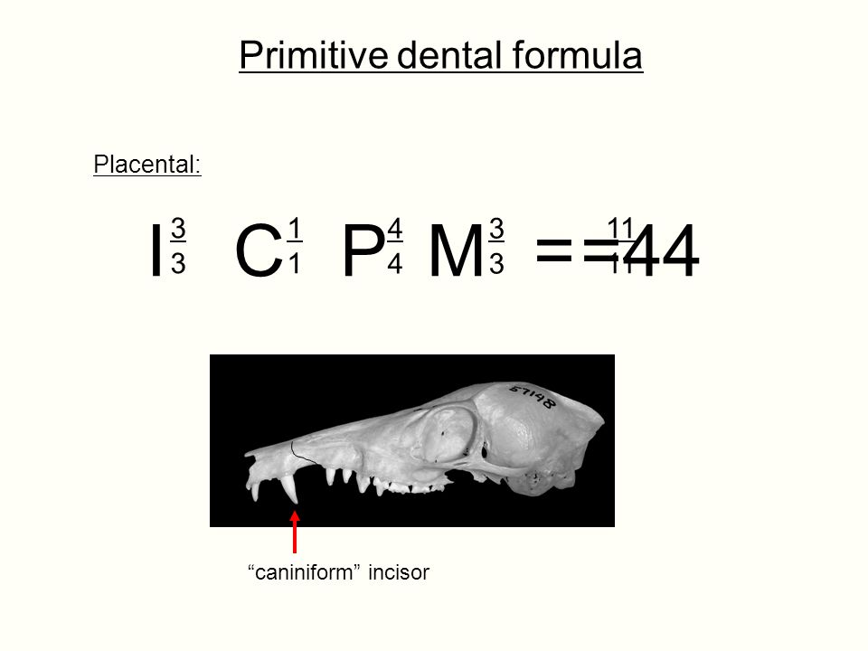 I C P M = =44 Primitive dental formula 3 1 4 3 11 Placental: