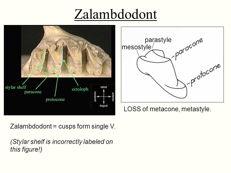 Zalambdodont parastyle mesostyle LOSS of metacone, metastyle.
