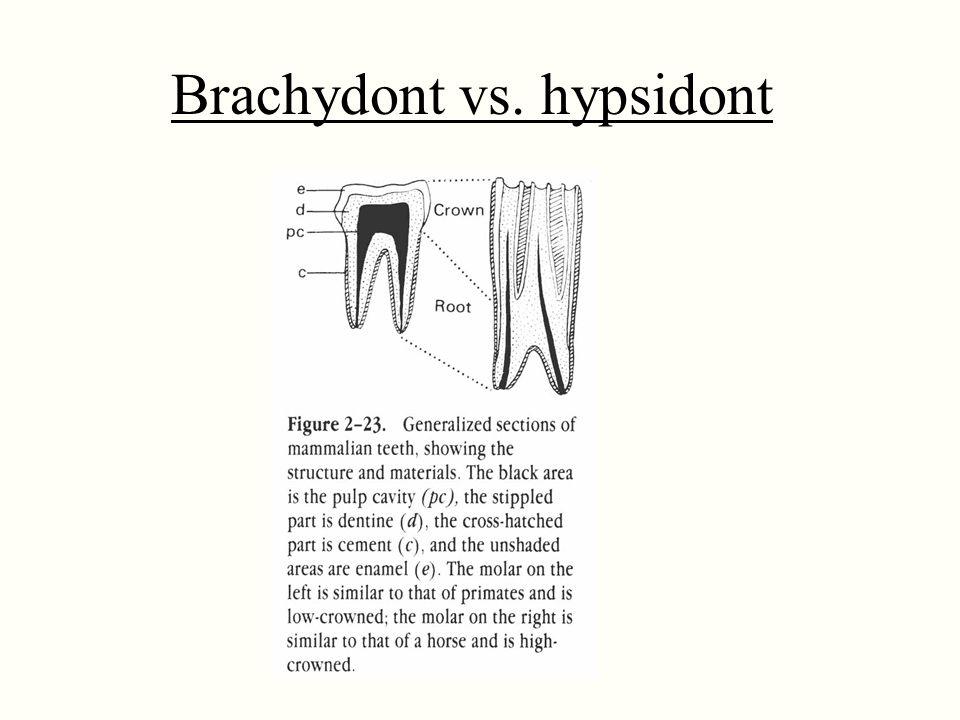 Brachydont vs. hypsidont